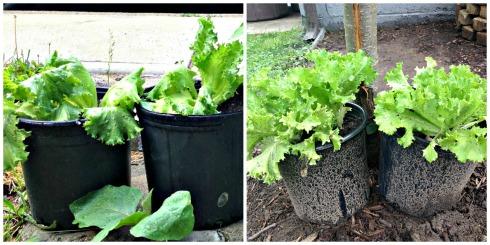 lettuceprogression